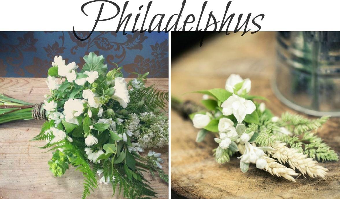 summer seasonal flowers - Philadephus