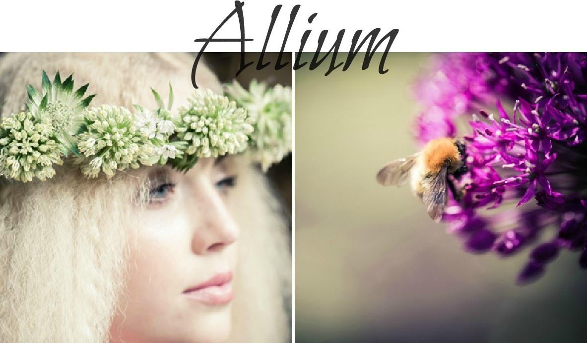 summer seasonal flowers - alium