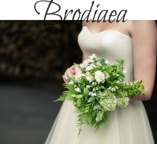 summer seasonal flowers - brodiea