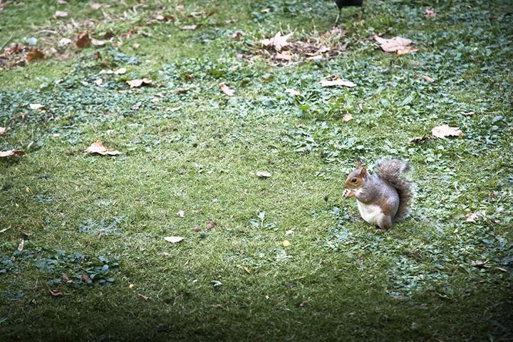 squirrel in St James Park London
