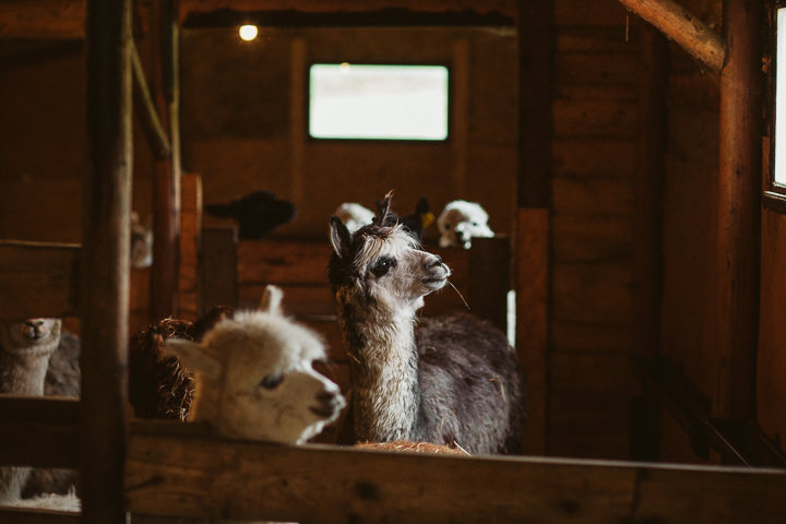 Ania and Michał's Outdoor Photo Session with Alpacas by Motkowicz Photography